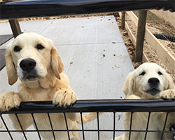 Golden Willow Retrievers